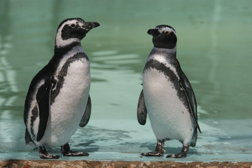 Centro de Rescate regresará al mar a 15 pingüinos Magallanes