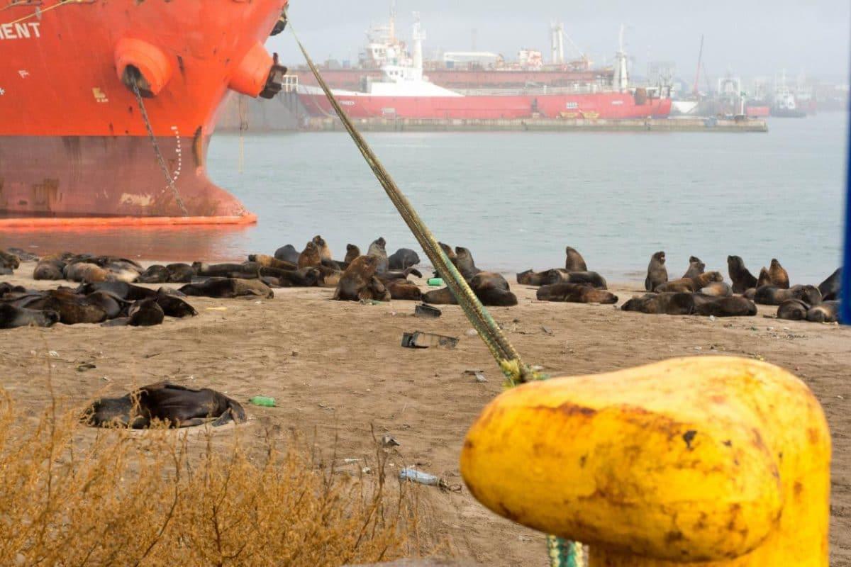 Acuerdo entre Consorcio Portuario y Universidad para manejo de la colonia de lobos marinos