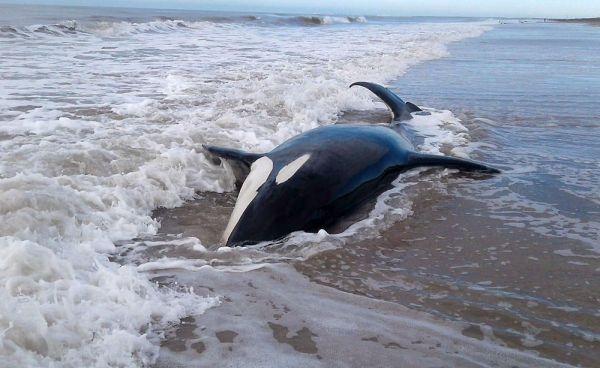 Alerta y preocupación por la falta de un protocolo de acción ante varamiento de fauna marina
