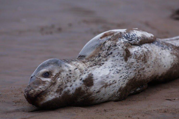 Sorpresiva visita de una foca leopardo en Varese