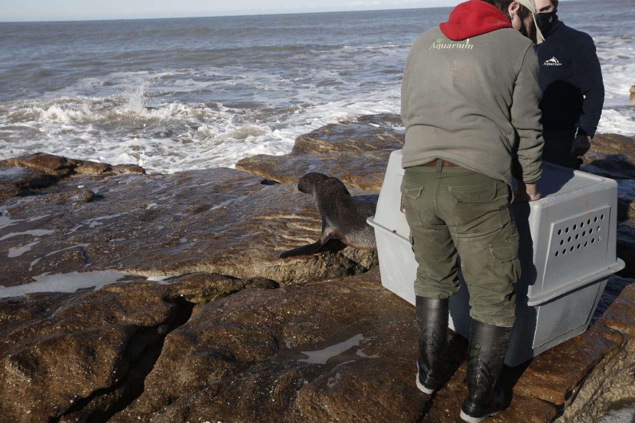 Liberaron al ejemplar de lobo marino que había sido rescatado en La Perla