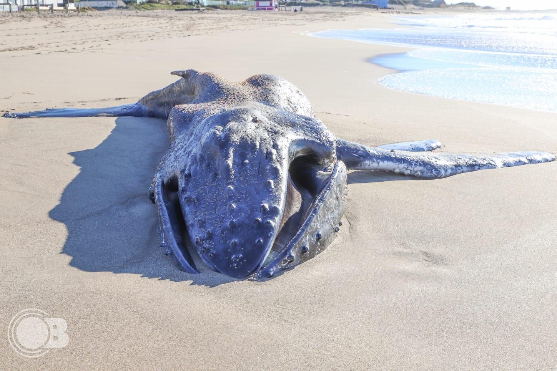 Hallan una ballena jorobada muerta en una playa de Mar del Plata