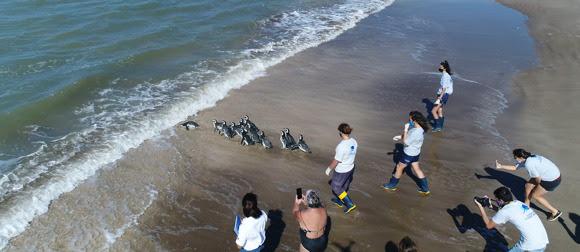 Doce pingüinos rescatados en la costa atlántica fueron devueltos al mar por ambientalistas
