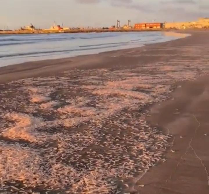 """Una extraña """"invasión"""" de crustáceos cubrió Playa Grande"""
