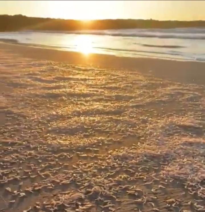 Inidep dio la explicación de la arribazón de los camarones en Playa Grande